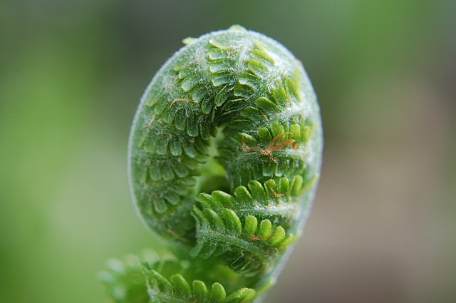 green fern leaf unfolding