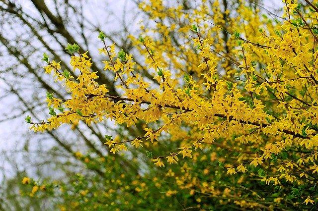 forsynthia bush